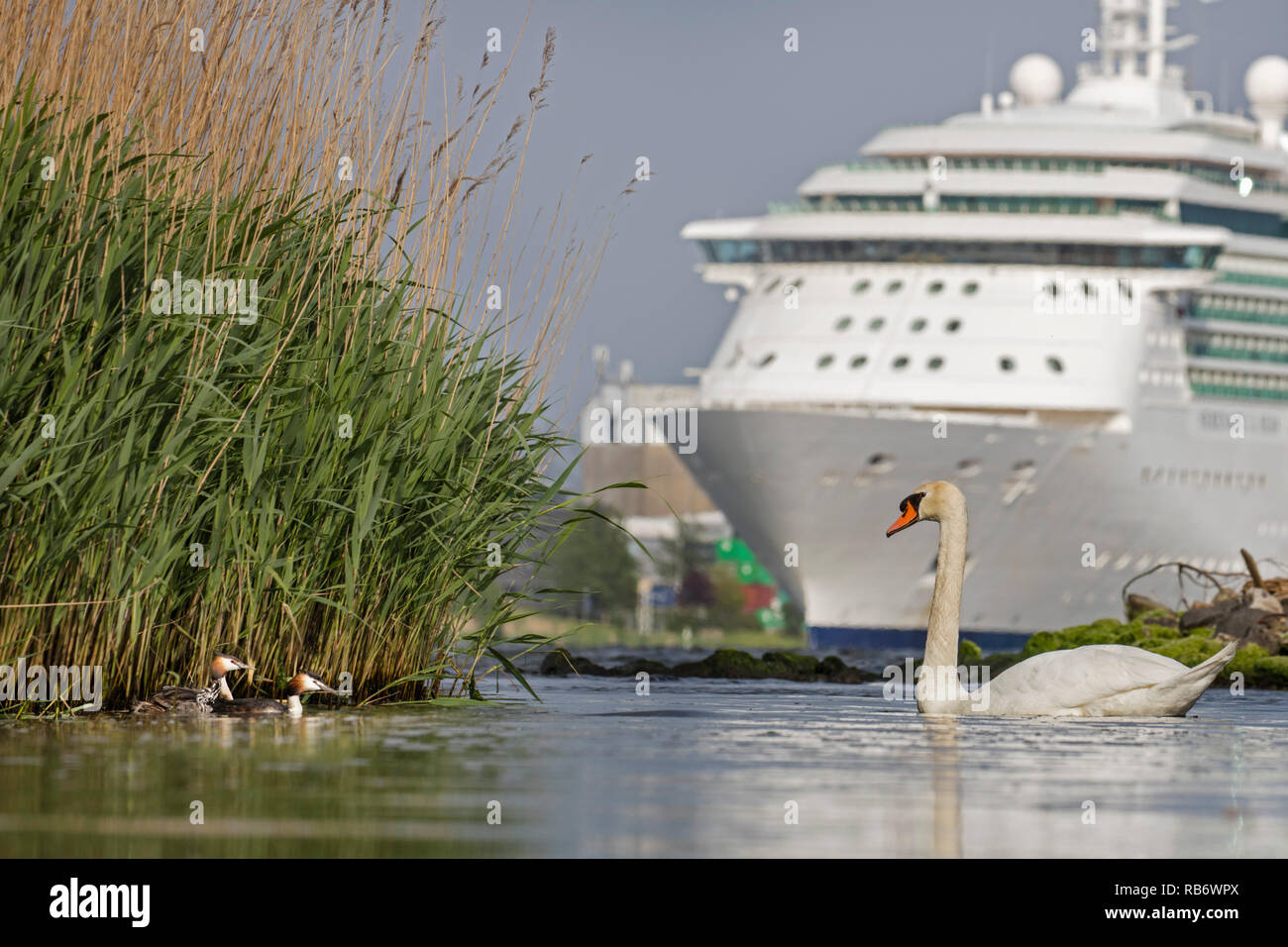 Cruise ship Serenade of the Sea's in North Sea Canal. Mute swan (Cygnus color) and Great crested grebes (Podiceps cristatus). Amsterdam, The Netherlan - Stock Image