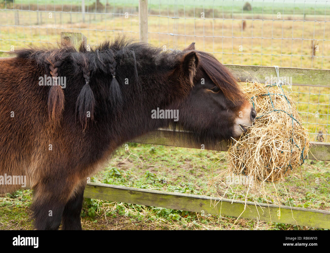 A bay coloured Shetland Pony eating hay from a haynet - Stock Image