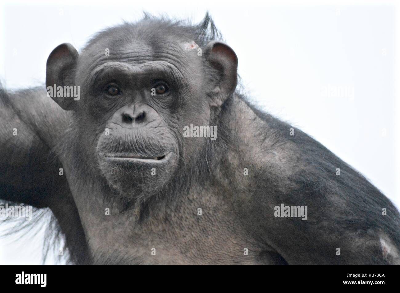 Vicky a Twycross chimp - Stock Image