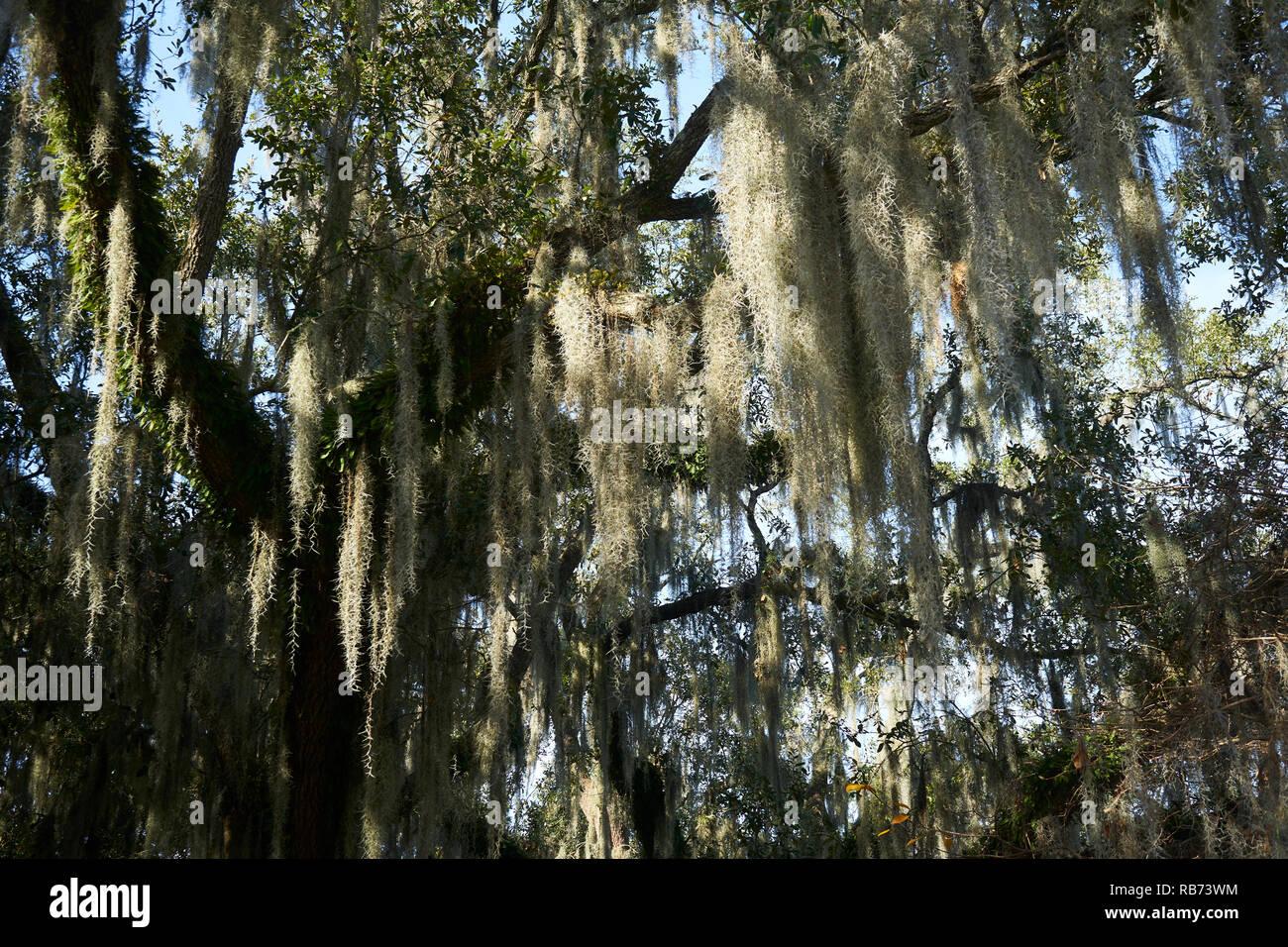 Mossy oak tree in City Park, New Orleans, Louisiana. - Stock Image