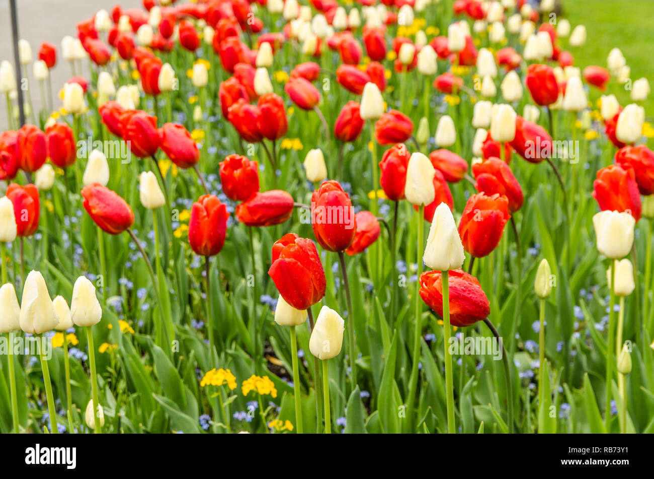 Beautiful and colorful tulips in Buchart gardens in Victoria,BC, Canada Stock Photo