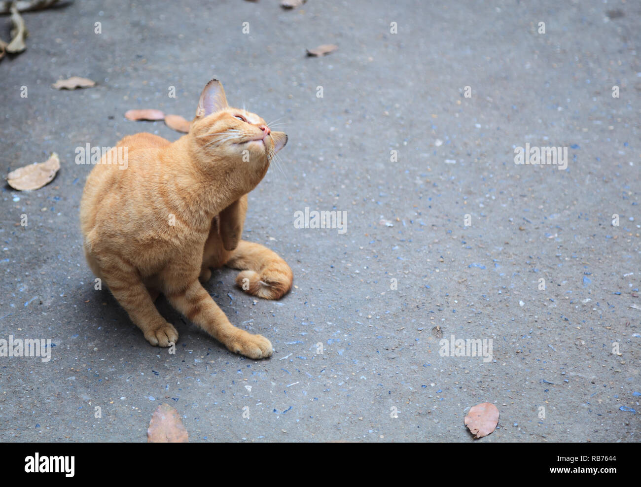Stray mixed breed orange striped color street cat feels itchy, scratching its back with hind leg on asphalt concrete street background. Domestic Anima - Stock Image