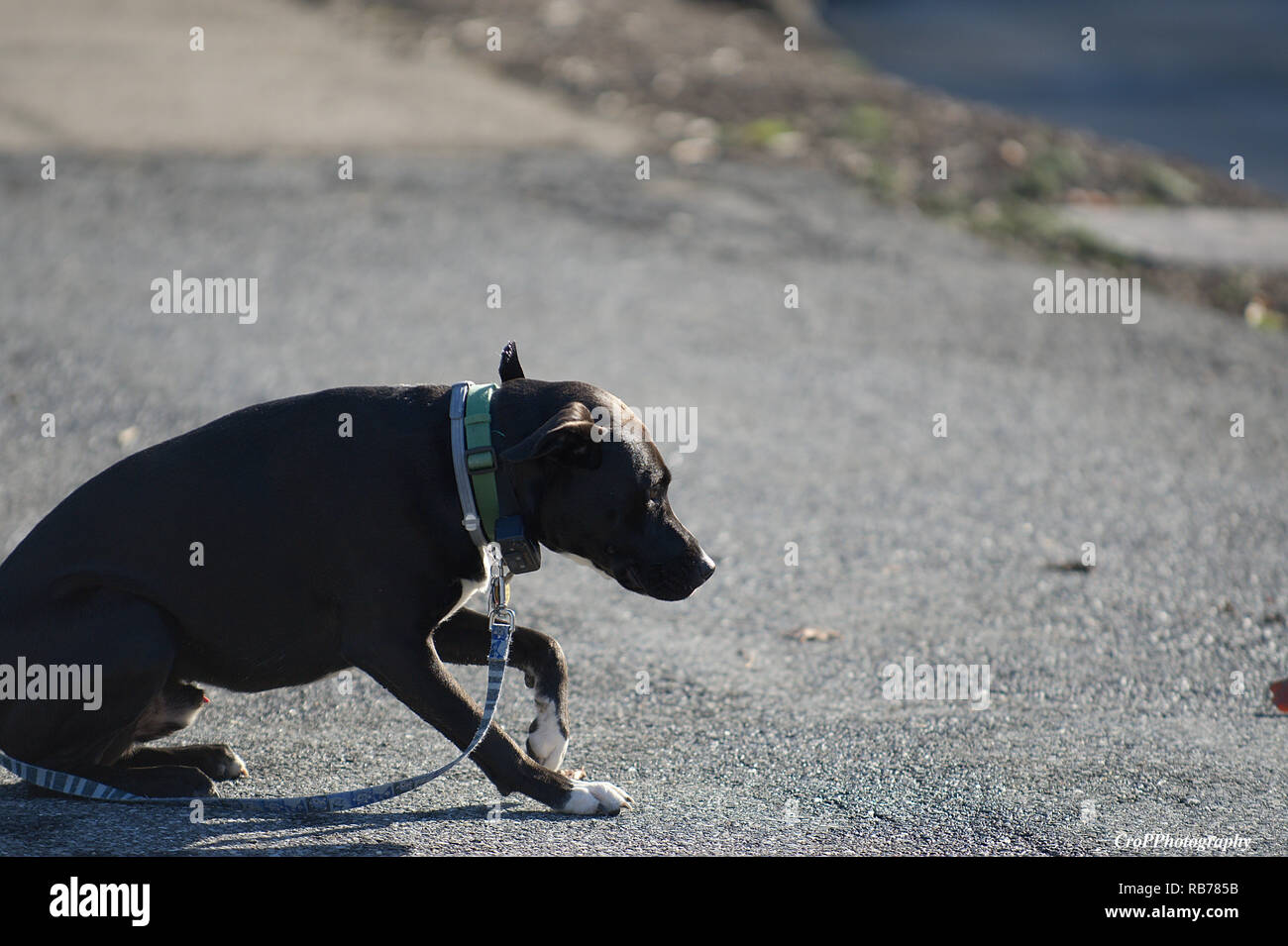 Brown short hair Dog crouching with head low on leash - Stock Image