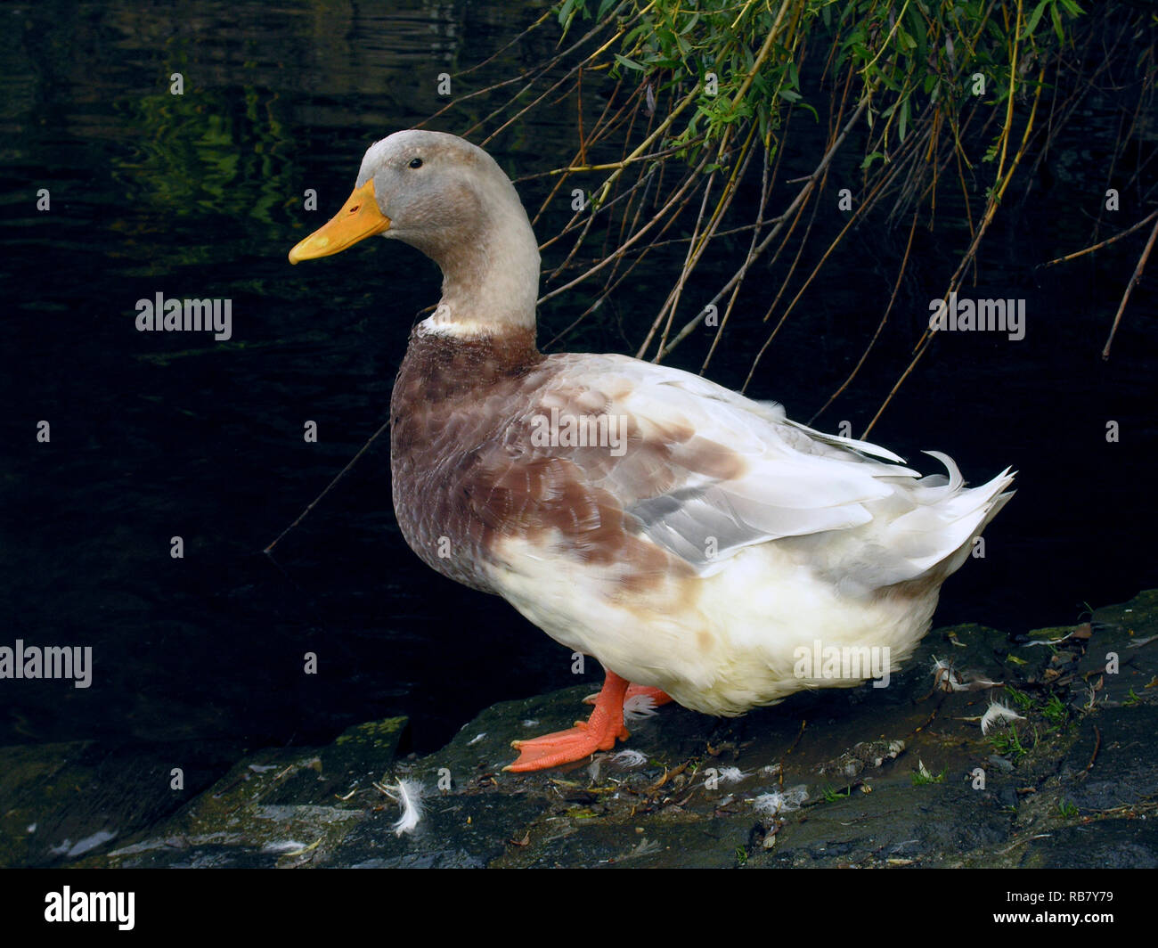 Saxony Duck Stock Photos & Saxony Duck Stock Images - Alamy