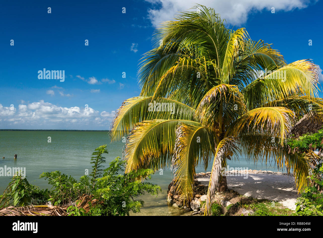 Palm tree at Corozal Bay seashore, Caribbean Sea coast, Cerros Beach Resort, Cerros Peninsula, Corozal District, Belize, Central America - Stock Image