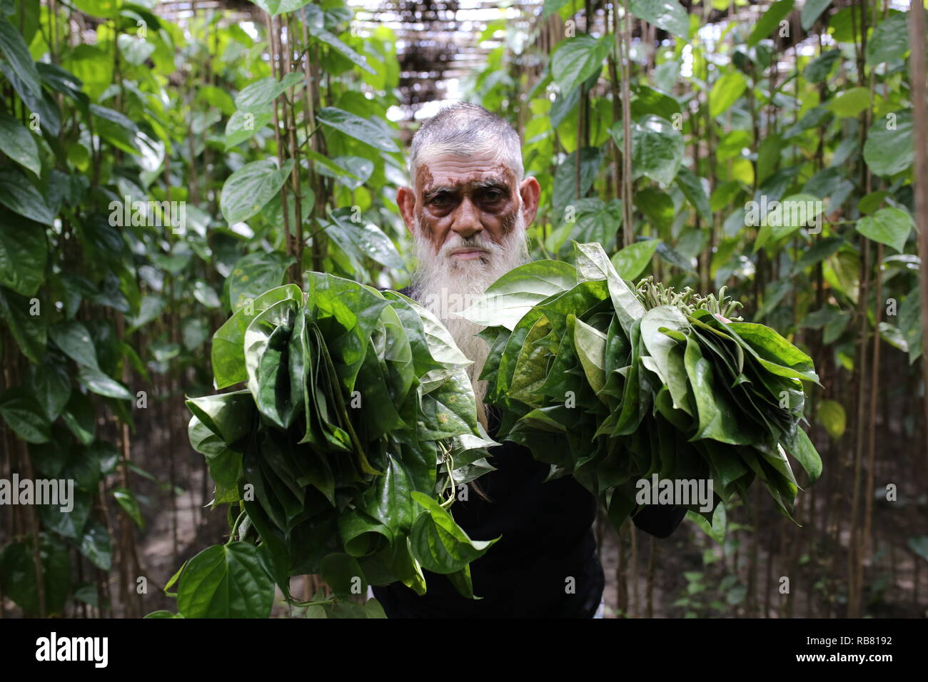 A man working in a betel leaf field in Shariatpur, Bangladesh on August 30, 2018. About 60-70% people depend on agriculture as the 166 million people live in this country and about 22 million people are still living below the poverty line. © Rehman Asad / Alamy Stock Photo - Stock Image