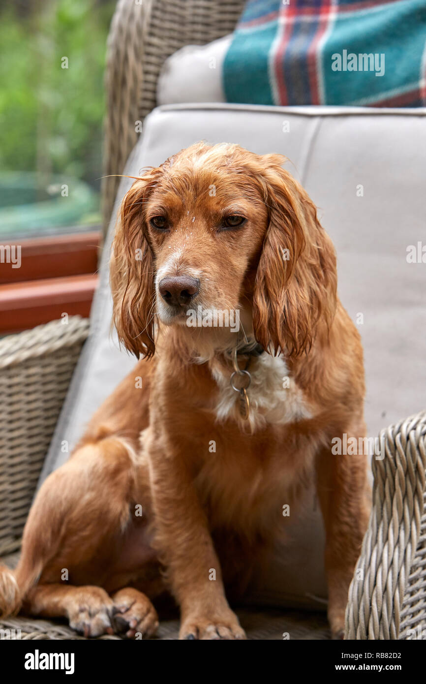 A favourite domestic pet, this COCKER SPANIEL is resting in a conservatory during the summer heat-wave. PEAT LANE, NIDDERDALE, NORTH YORKS, UK - Stock Image
