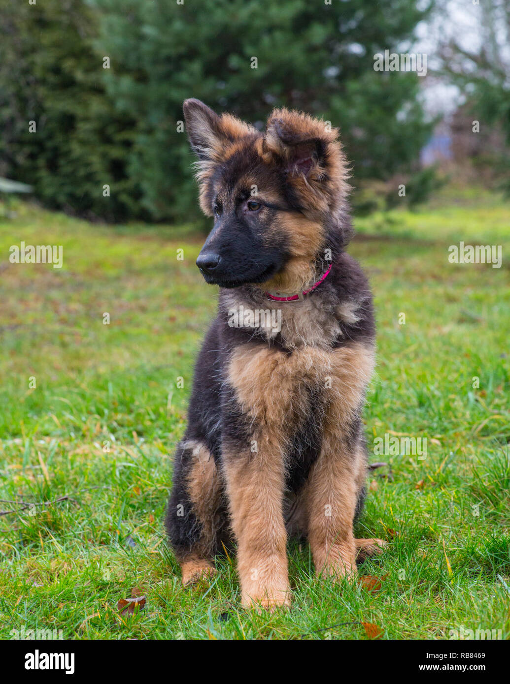 German Shepherd Puppy Cute High Resolution Stock Photography And Images Alamy