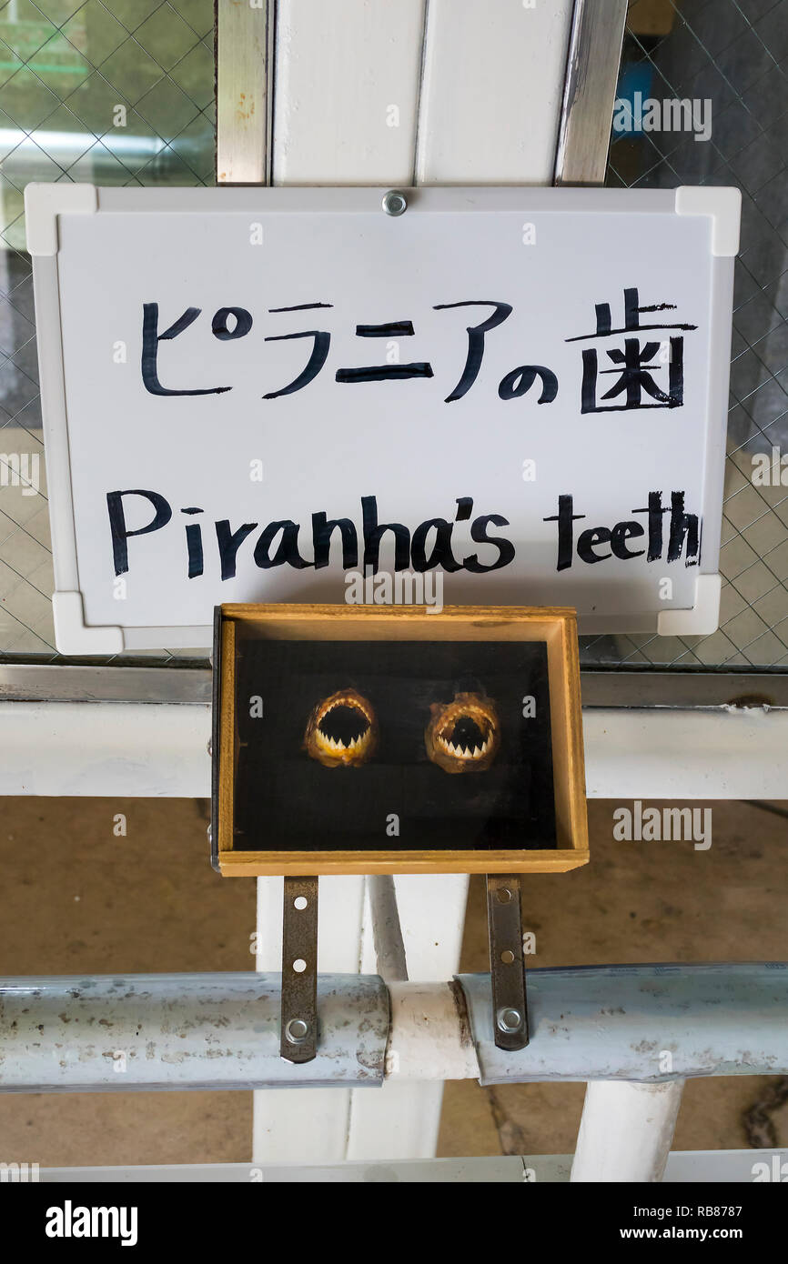 Beppu, Japan - November 2, 2018: Piranha's teeth shown as a point of interest near the Kamado Jigoku pool - Stock Image