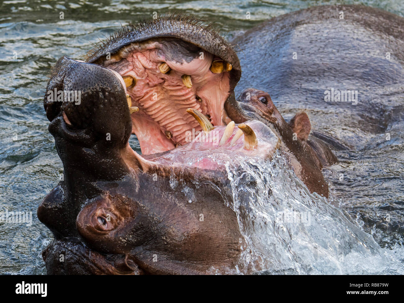 Fighting hippopotamuses / hippos (Hippopotamus amphibius) in lake showing huge teeth and large canine tusks in wide open mouth - Stock Image