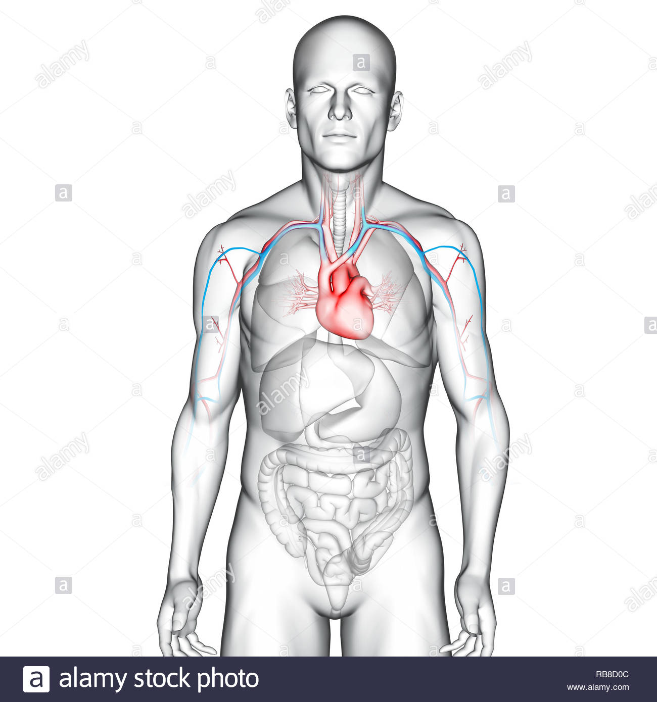 Heart - Stock Image