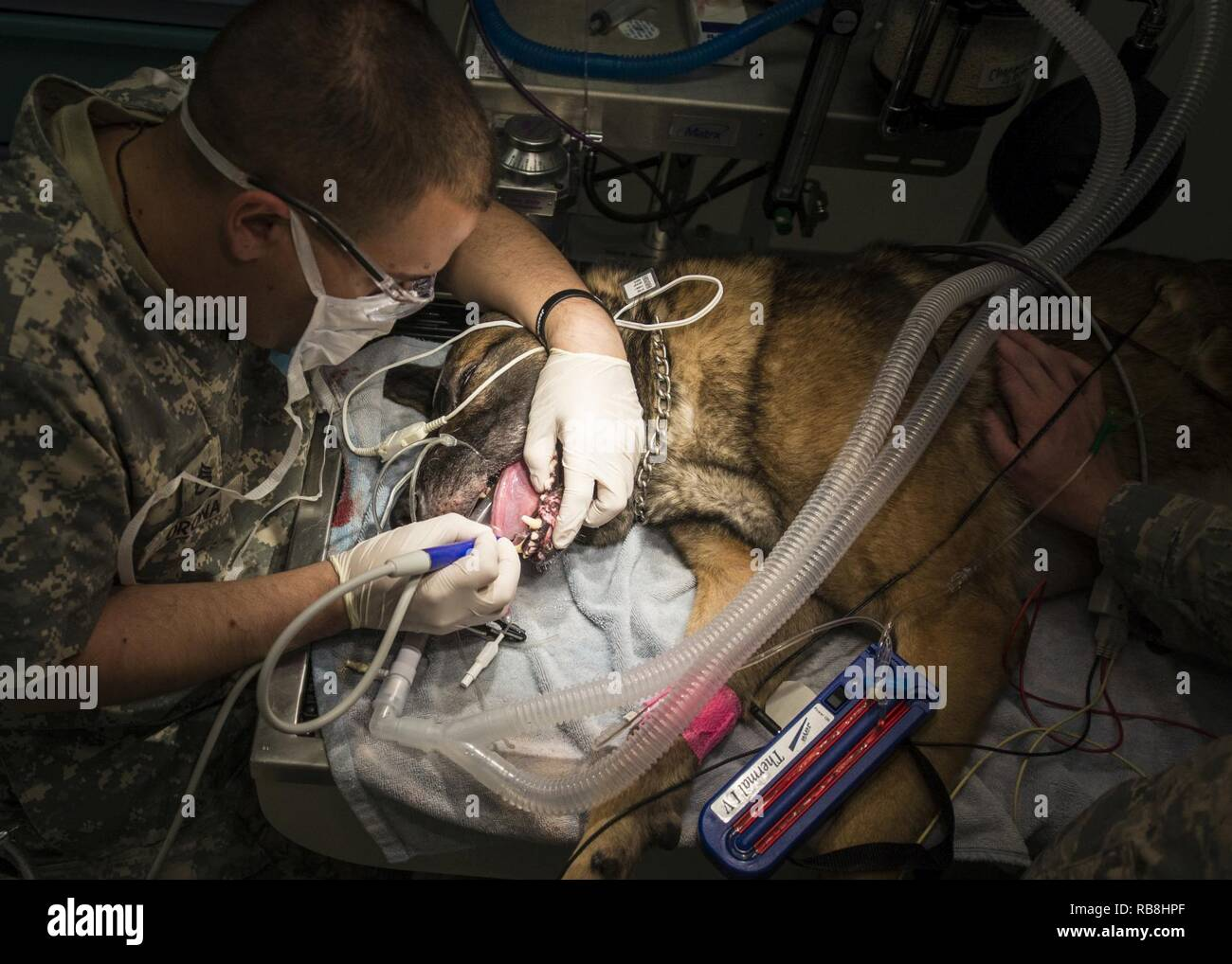 Dylan, a military working dog with the 49th Security Forces Squadron, gets a routine dental cleaning at the veterinary clinic at Holloman Air Force Base, N.M., on Dec. 13, 2016. Holloman's MWDs receive routine dental and medical checkups. A veterinarian is on station 24/7 to assure the health of the dogs. - Stock Image