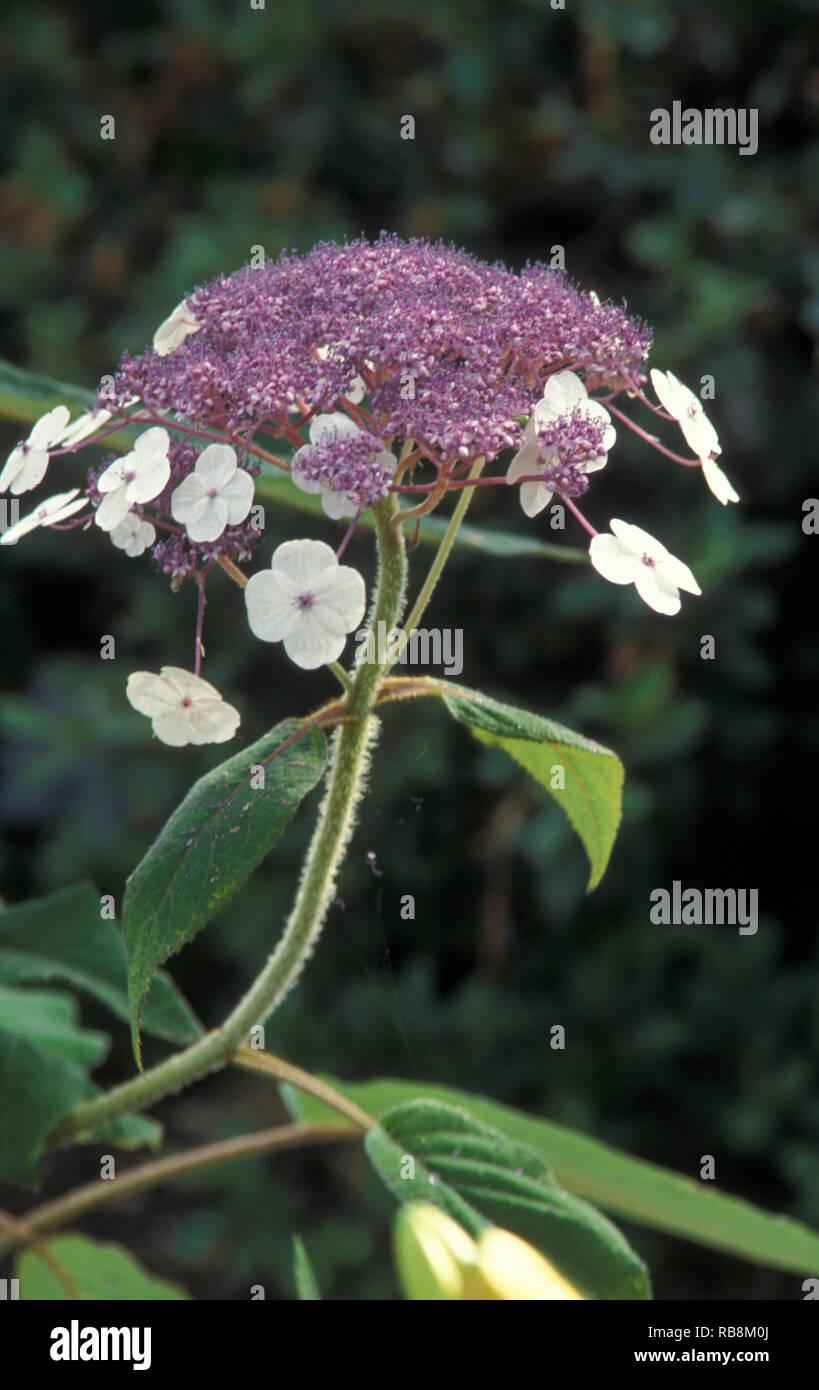 Hydrangea Strigosa Care And Culture Travaldo S Blog