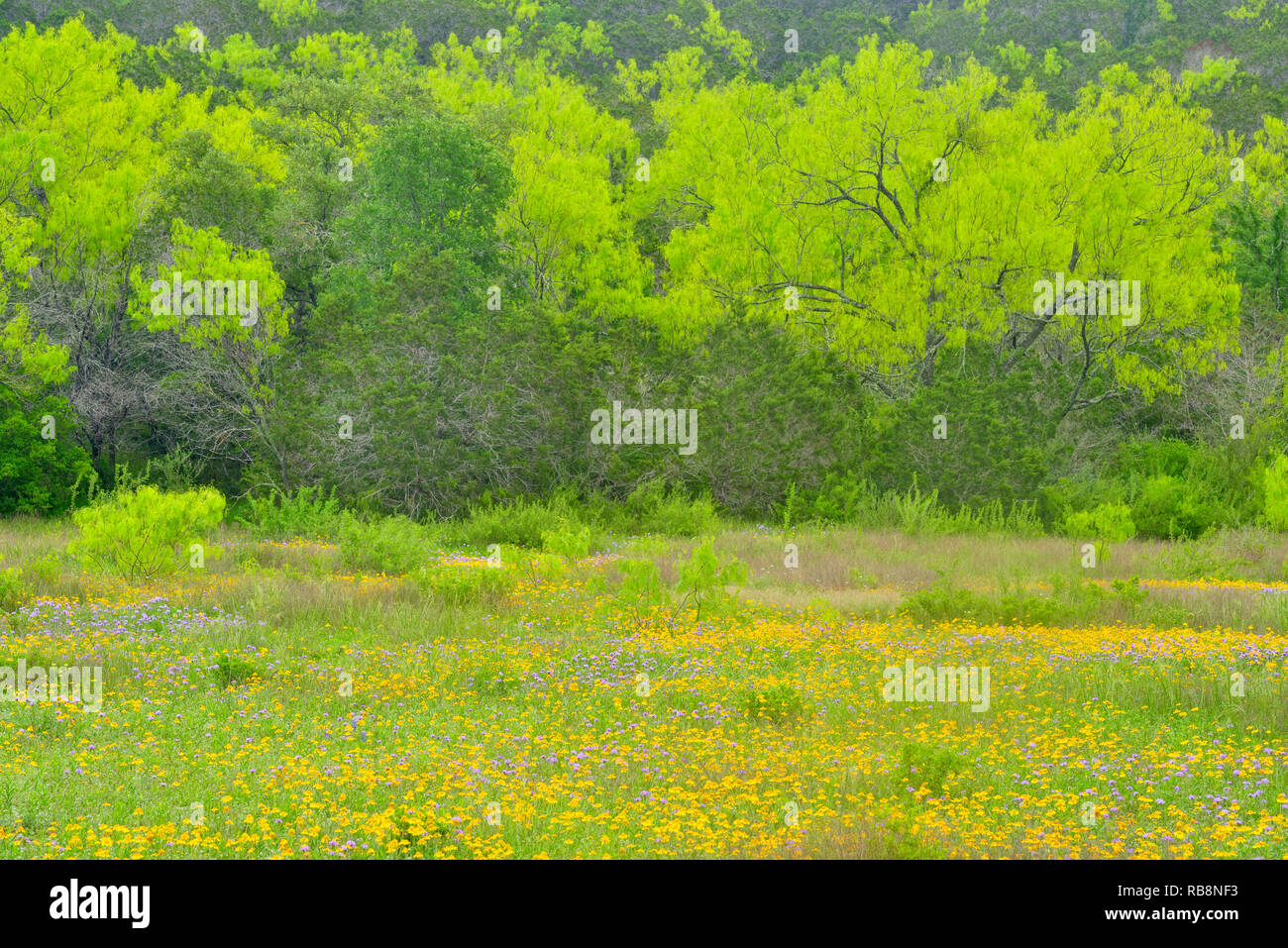 Spring trees and mixed wildflowers, Burnet County, Texas, USA - Stock Image