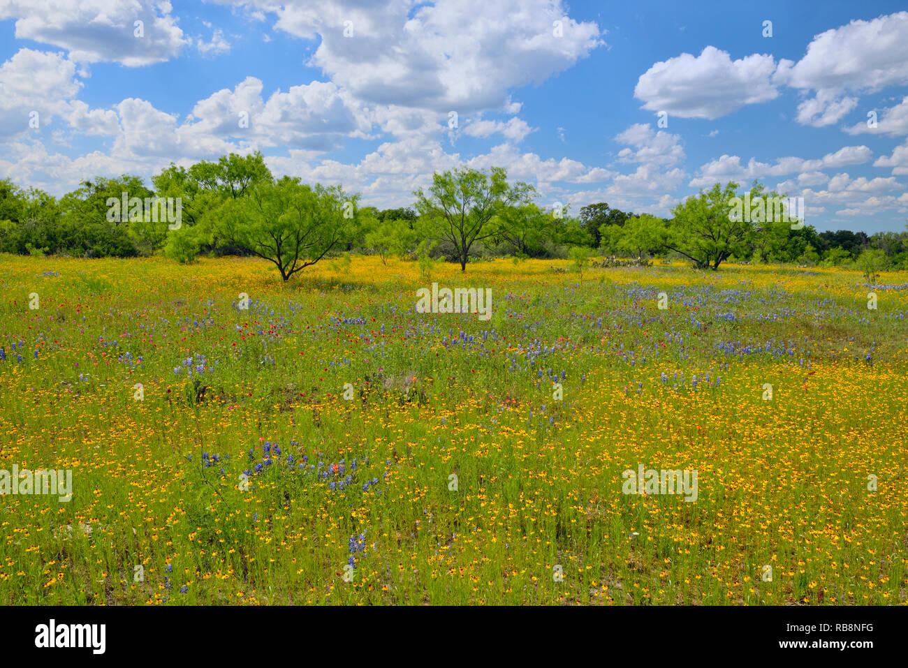 Wildflowers along Ranch Road 152, Llano County, Texas, USA - Stock Image