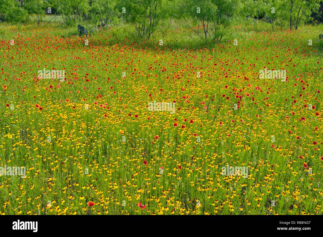 Spring wildflowers, Llano County, Texas, USA - Stock Image