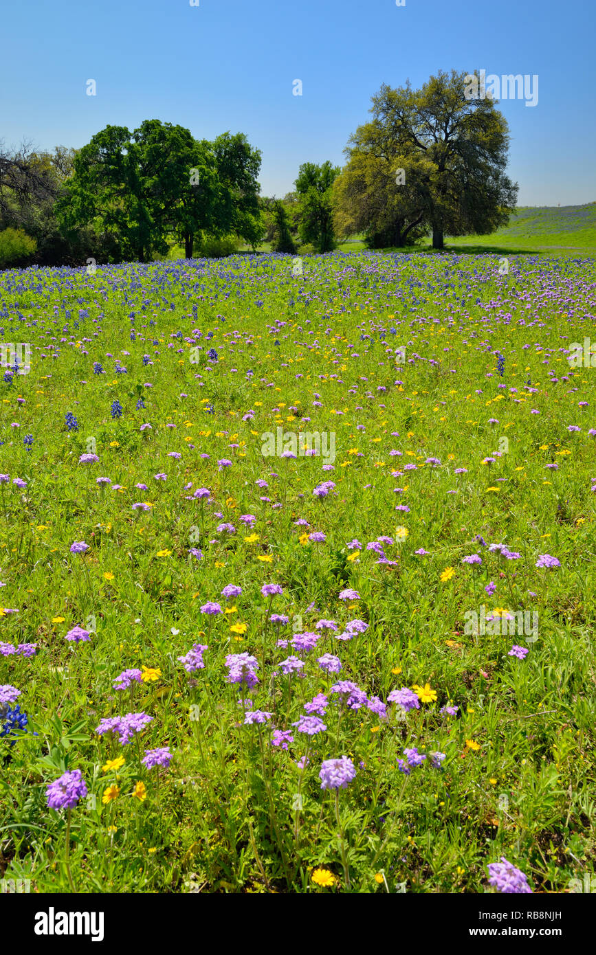 A field of Texas wildflowers New Braunfels, Texas, USA - Stock Image