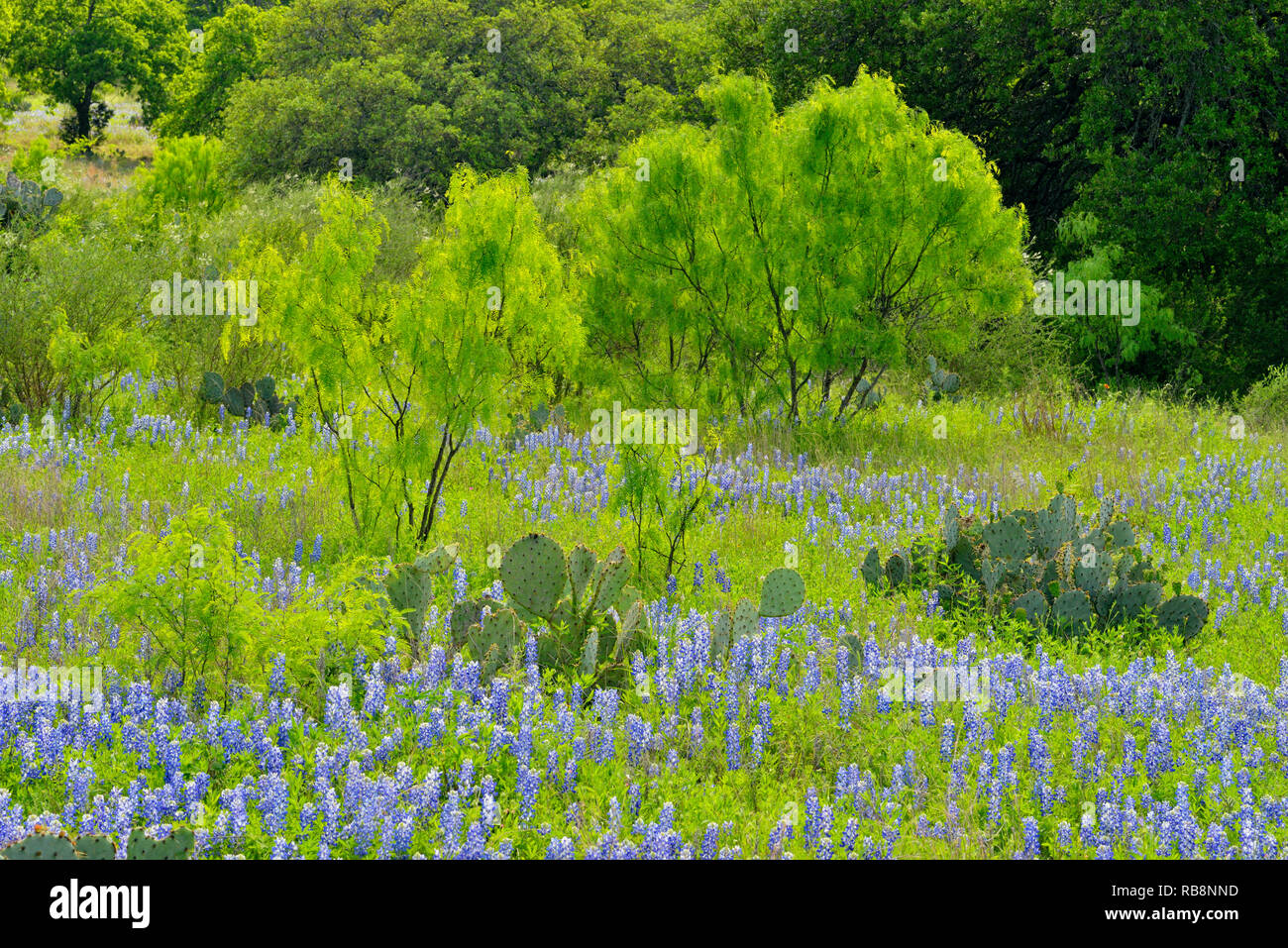 Texas bluebonnets, prickly pear cactus and mesquite along Hwy 71, Llano County, Texas, USA - Stock Image