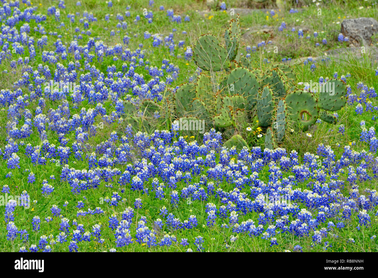 Texas bluebonnets and prickly pear cactus, Burnet, Texas, USA - Stock Image