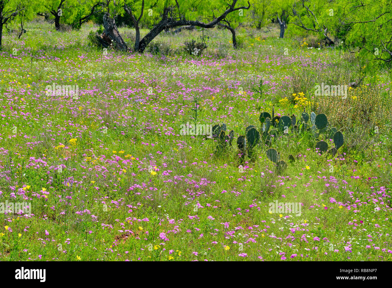 Wildflowers in spring along Ranch Road 152, Mason County, Texas, USA - Stock Image