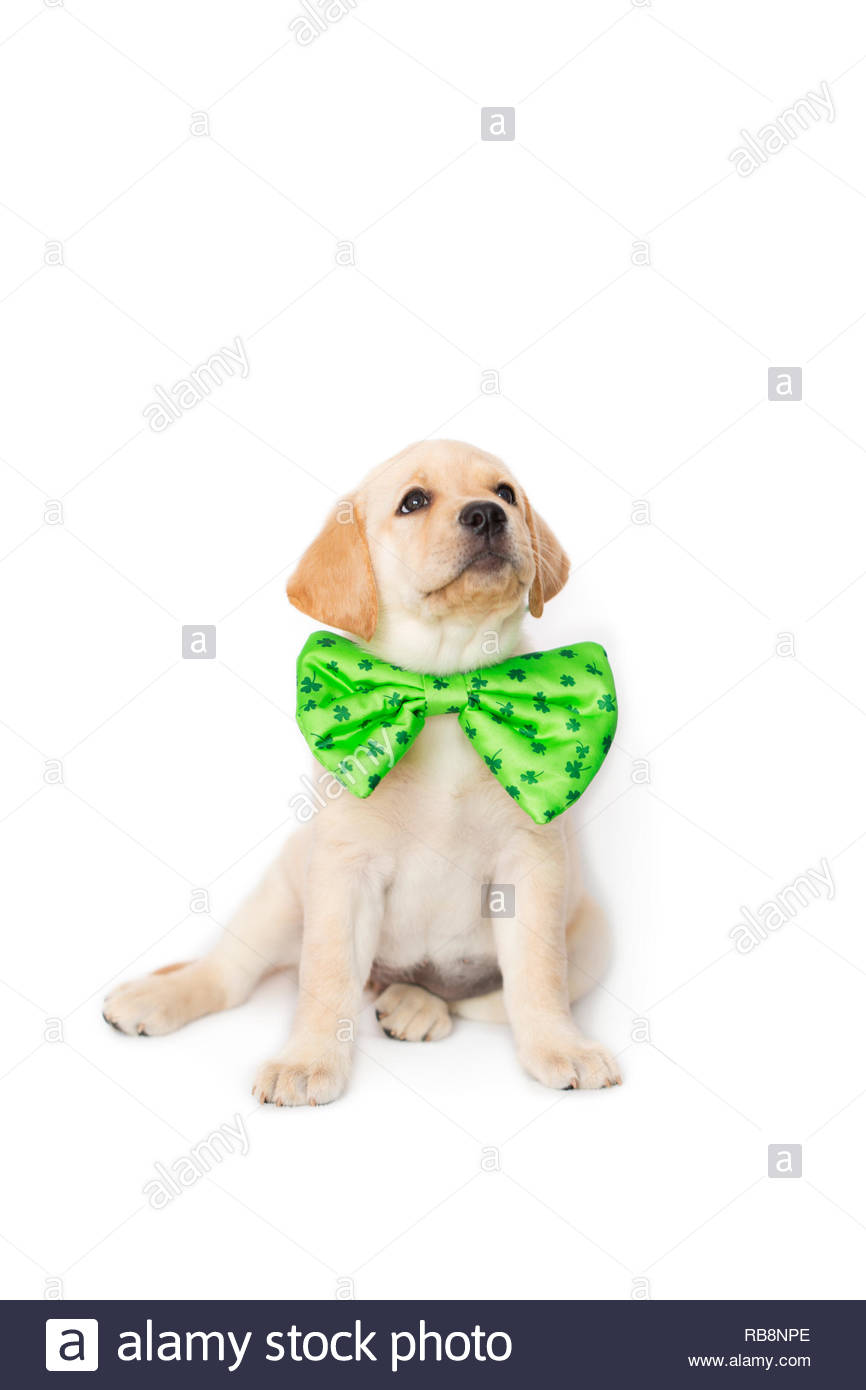 Puppy dog wearing a St.Patrick's Day green bowtie, isolated on a white background. sitting looking up - Stock Image
