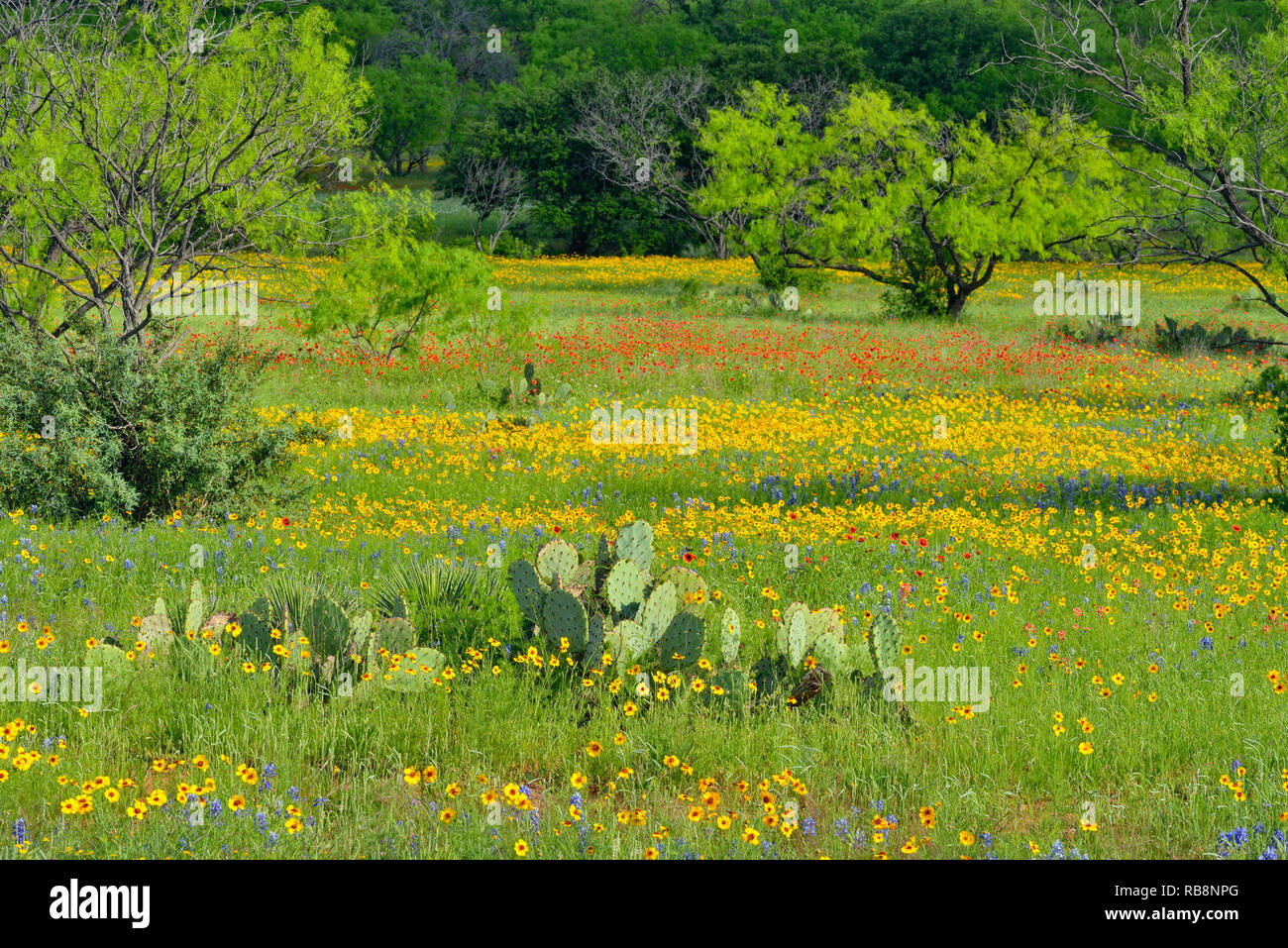 Roadside wildflowers along ranch road 152 featuring greenthread and cactus, Llano County, Texas, USA - Stock Image