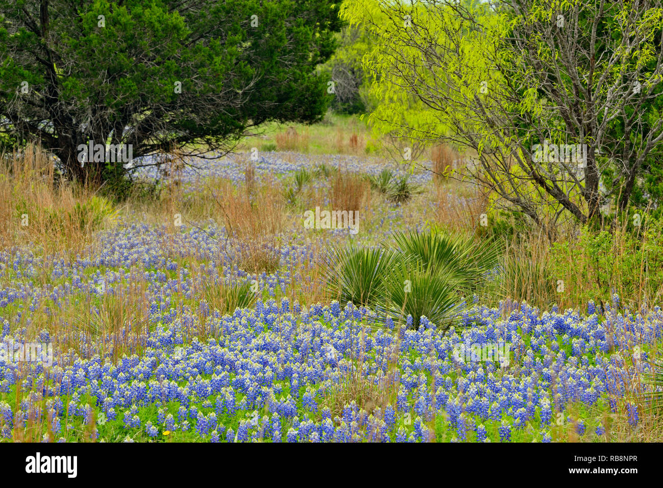 Texas bluebonnets in a field with spring trees, Burnet County, Texas, USA - Stock Image