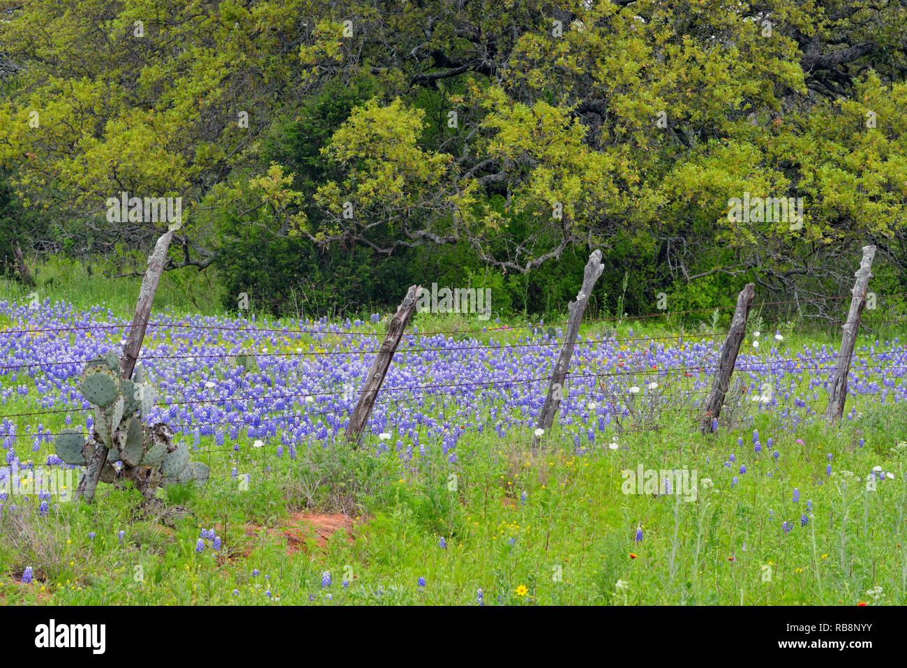 Texas bluebonnets near a country fence, Gillespie County, Texas, USA - Stock Image