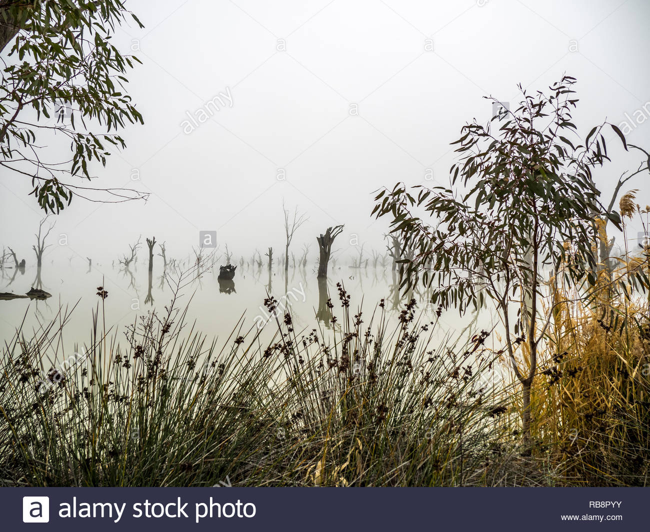 Cobby Causeway fog with dead trees, reflections and grasses. - Stock Image