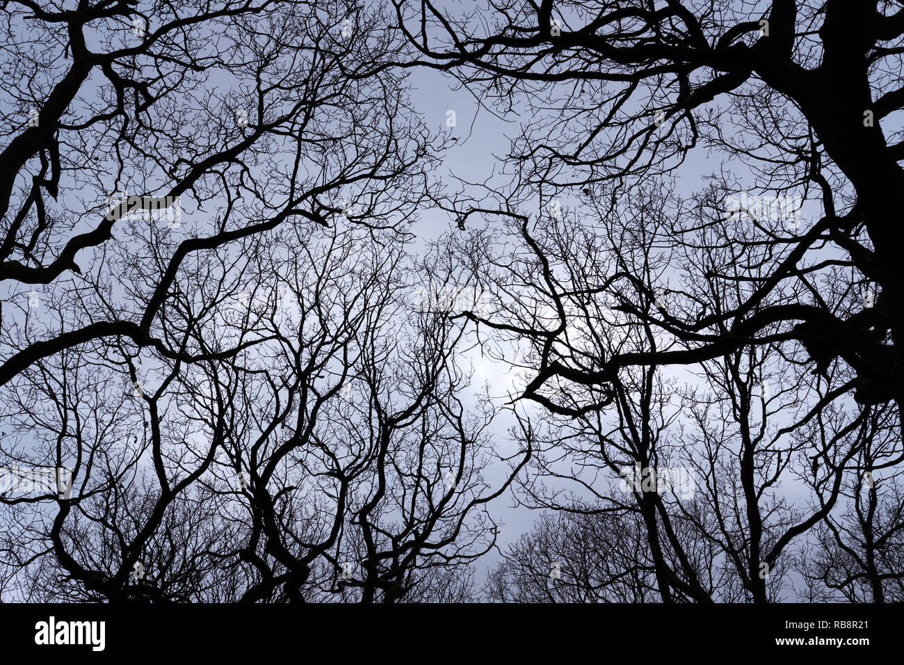 Bare trees in winter silhouetted against a grey sky - Stock Image