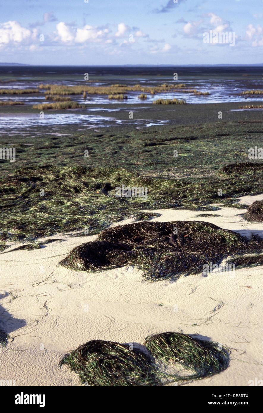 Salt marsh developing in Arcachon Bay.West coast France just below Bordeaux - Stock Image