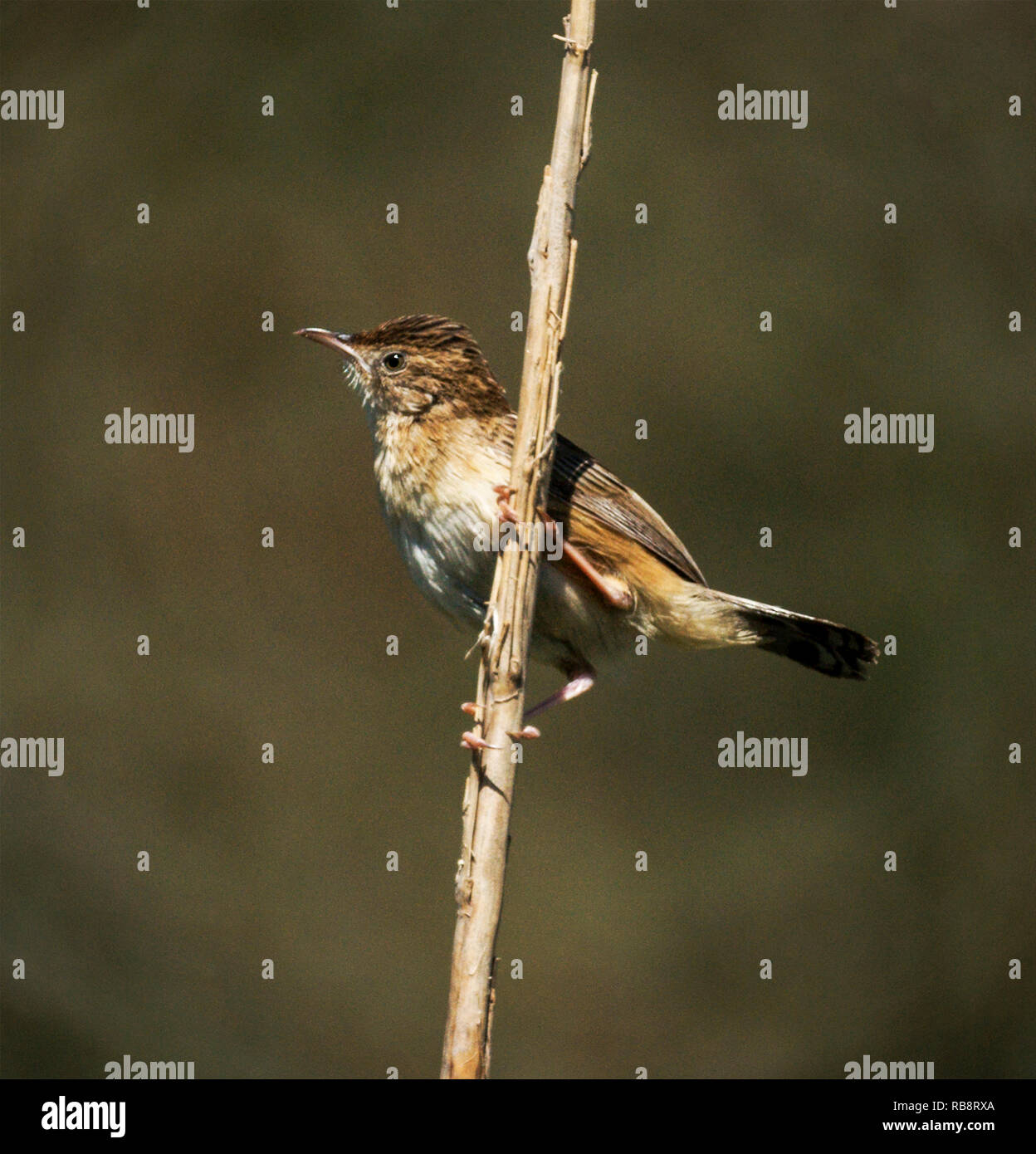 A Fan-tailed Warbler (Cisticola juncidis) singing from an exposed perch on the edge of a Spanish wetland. - Stock Image