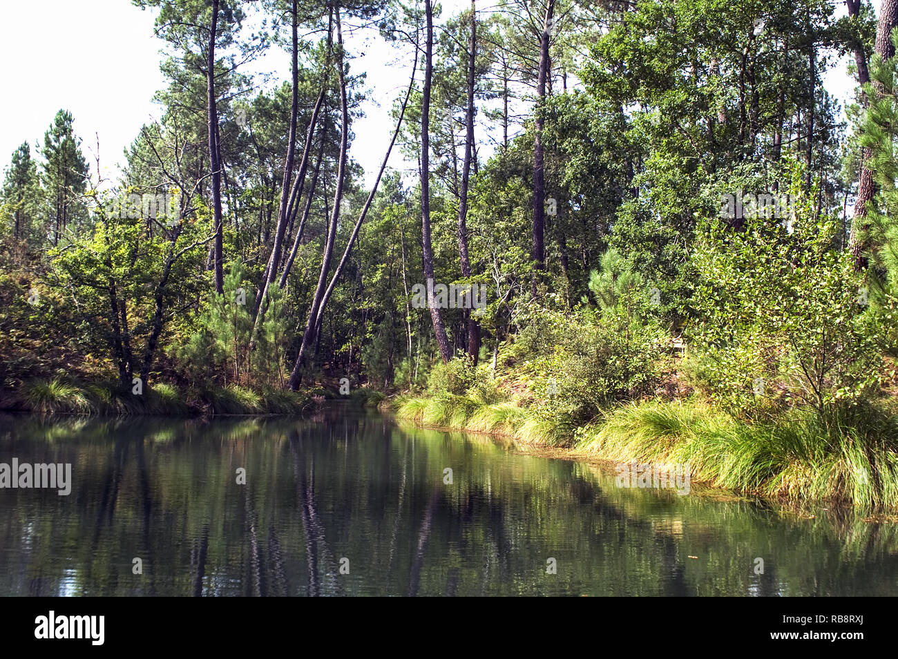 A woodland pool in the forest of the Landes. - Stock Image