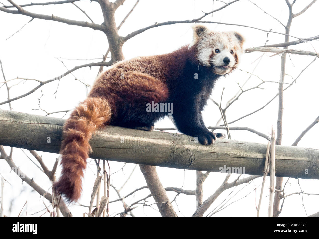 Himalayan Red Panda (Ailurus fulgens).Adult in a zoo in Southwest France. - Stock Image