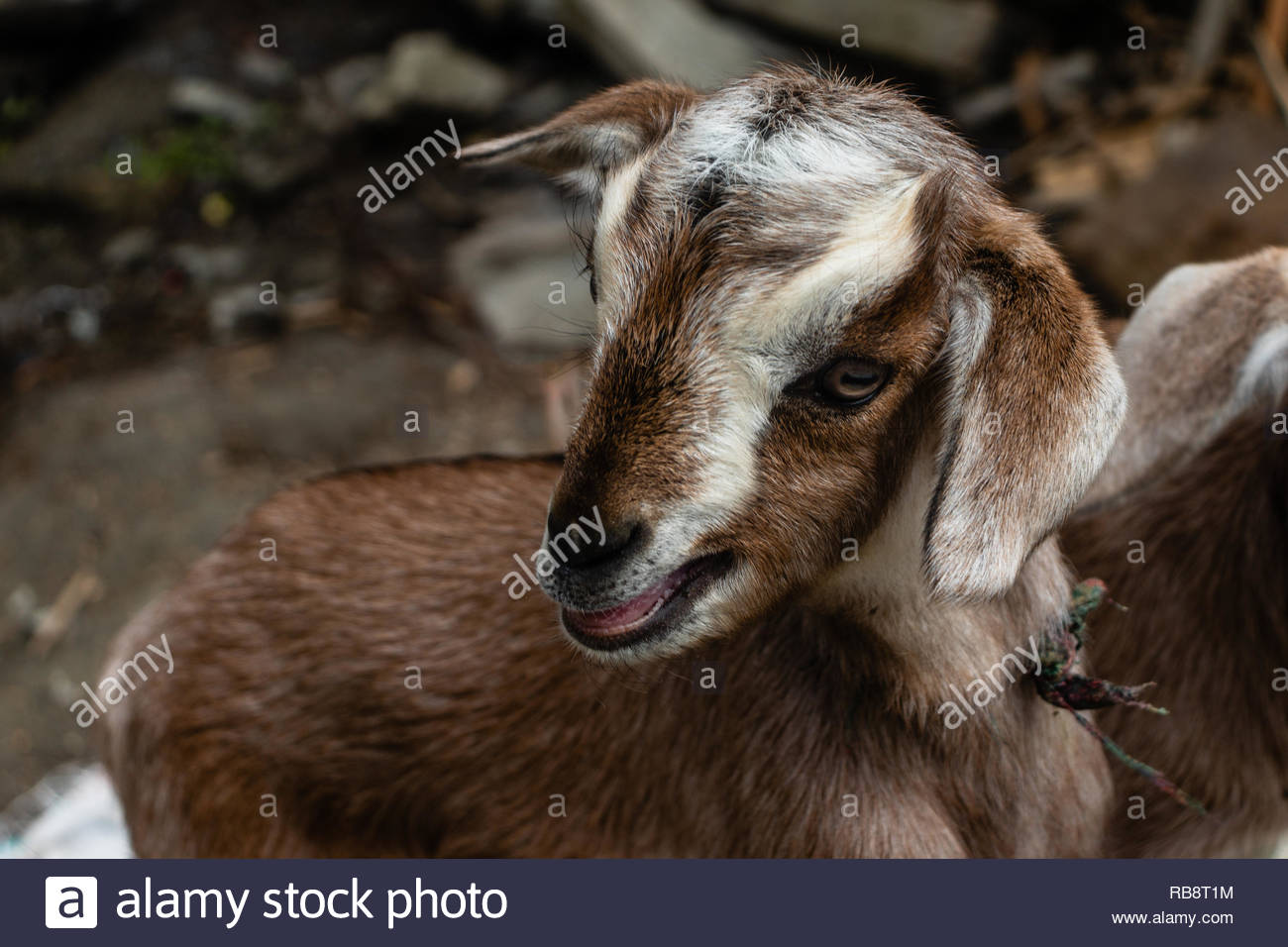 mowing baby goat close up - Stock Image