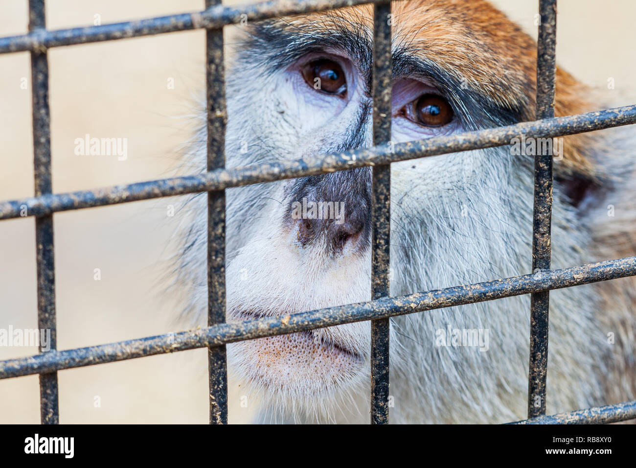 A portrait of a sad captive monkey looking yearningly thorough metal cage - Stock Image