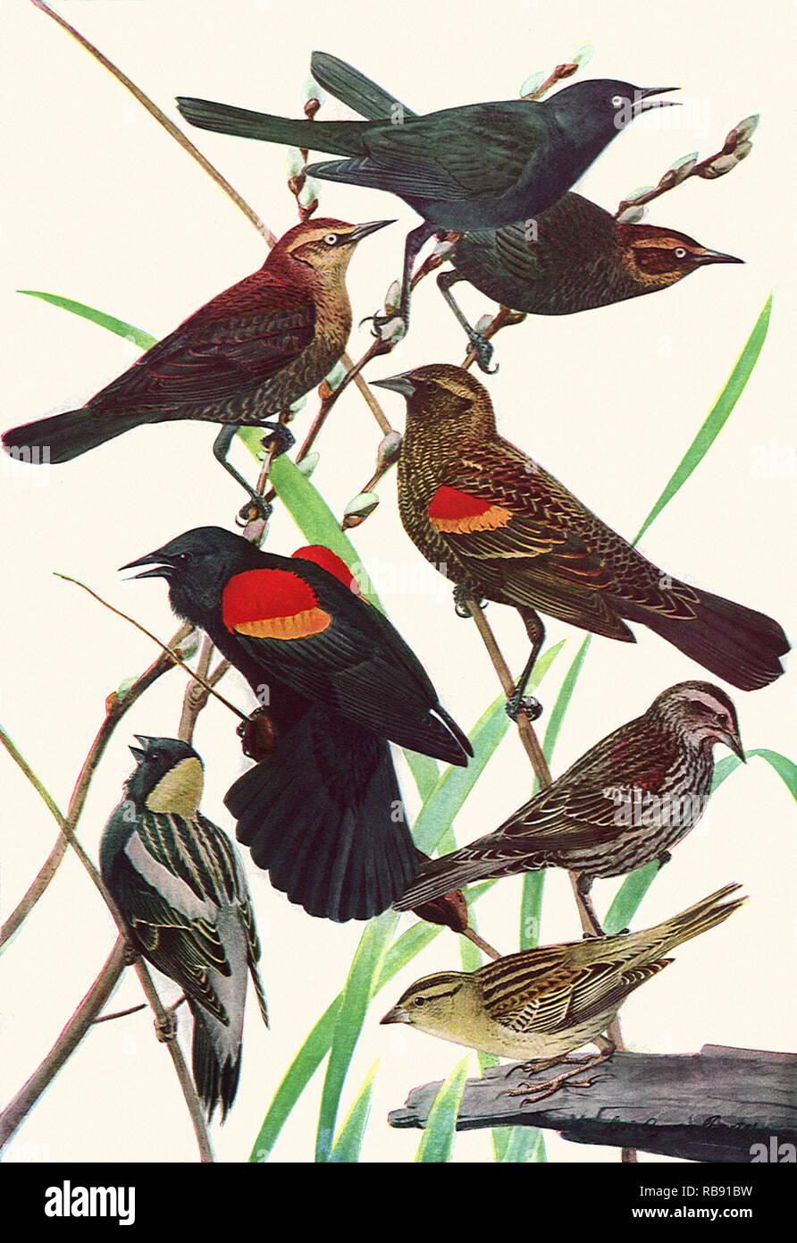 Blackbirds and Bobolinks - Stock Image
