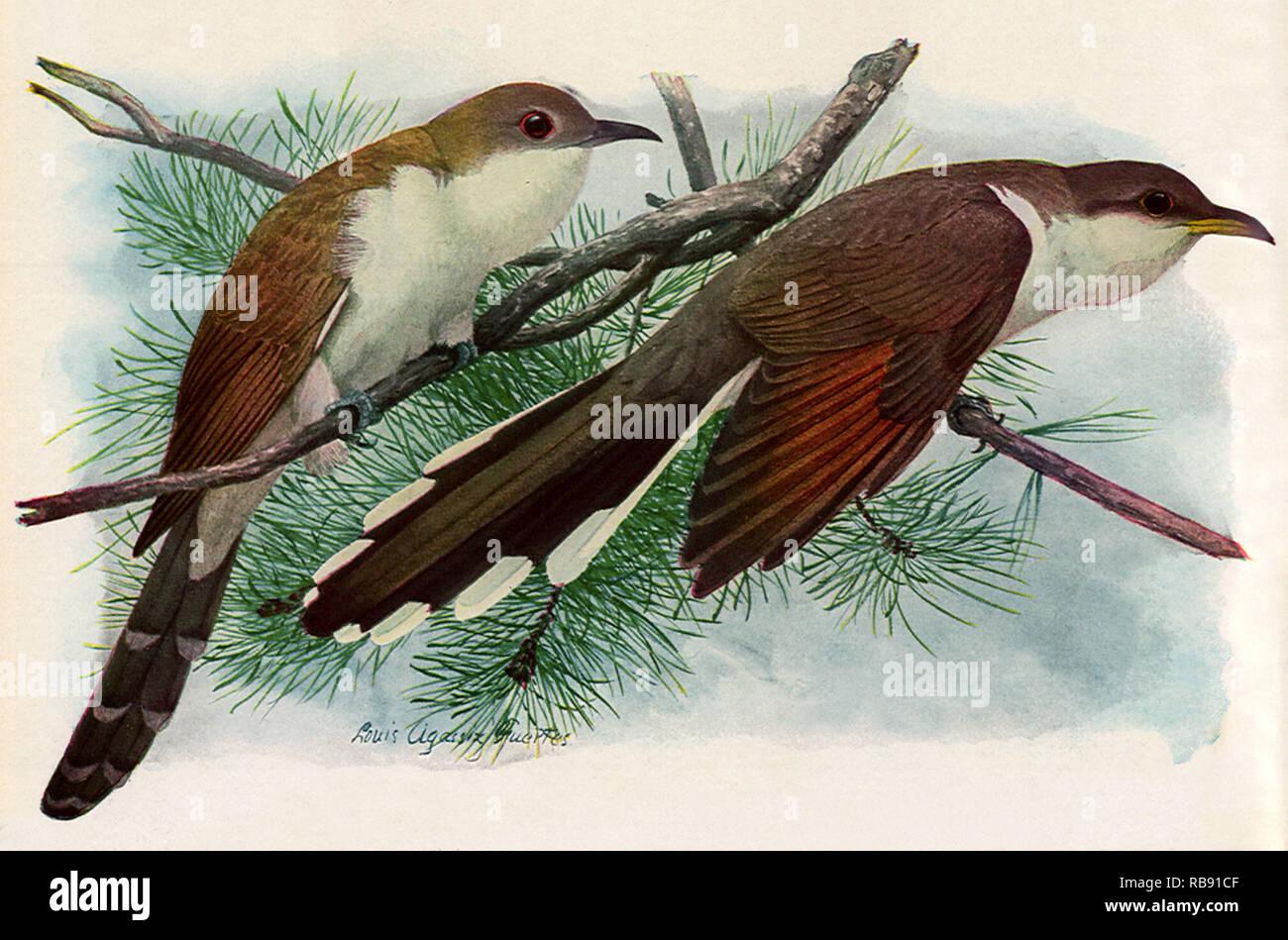 Cuckoos - Stock Image