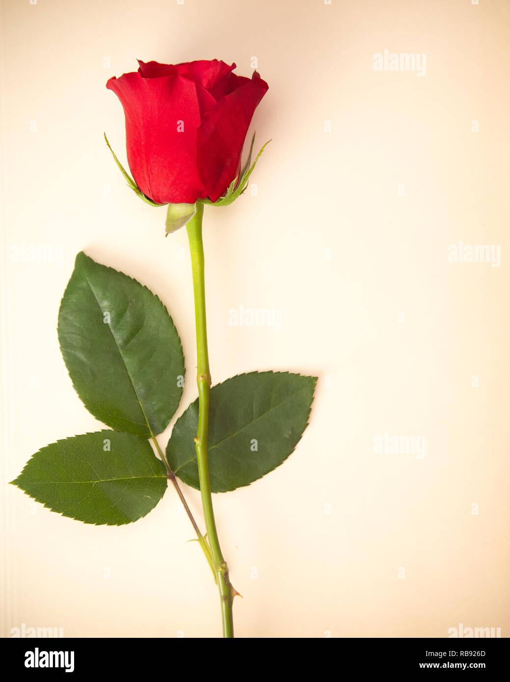 A Single Rose on a Piece o Antiqued Paper - Stock Image