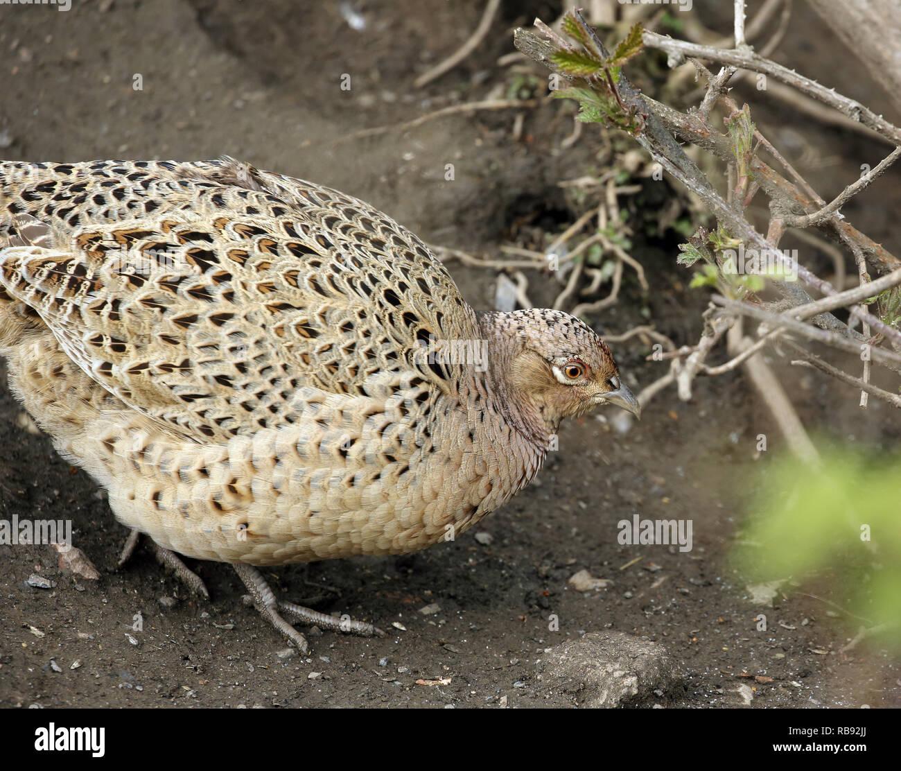 Female pheasant, Phasianus colchicus, walking on the ground. - Stock Image