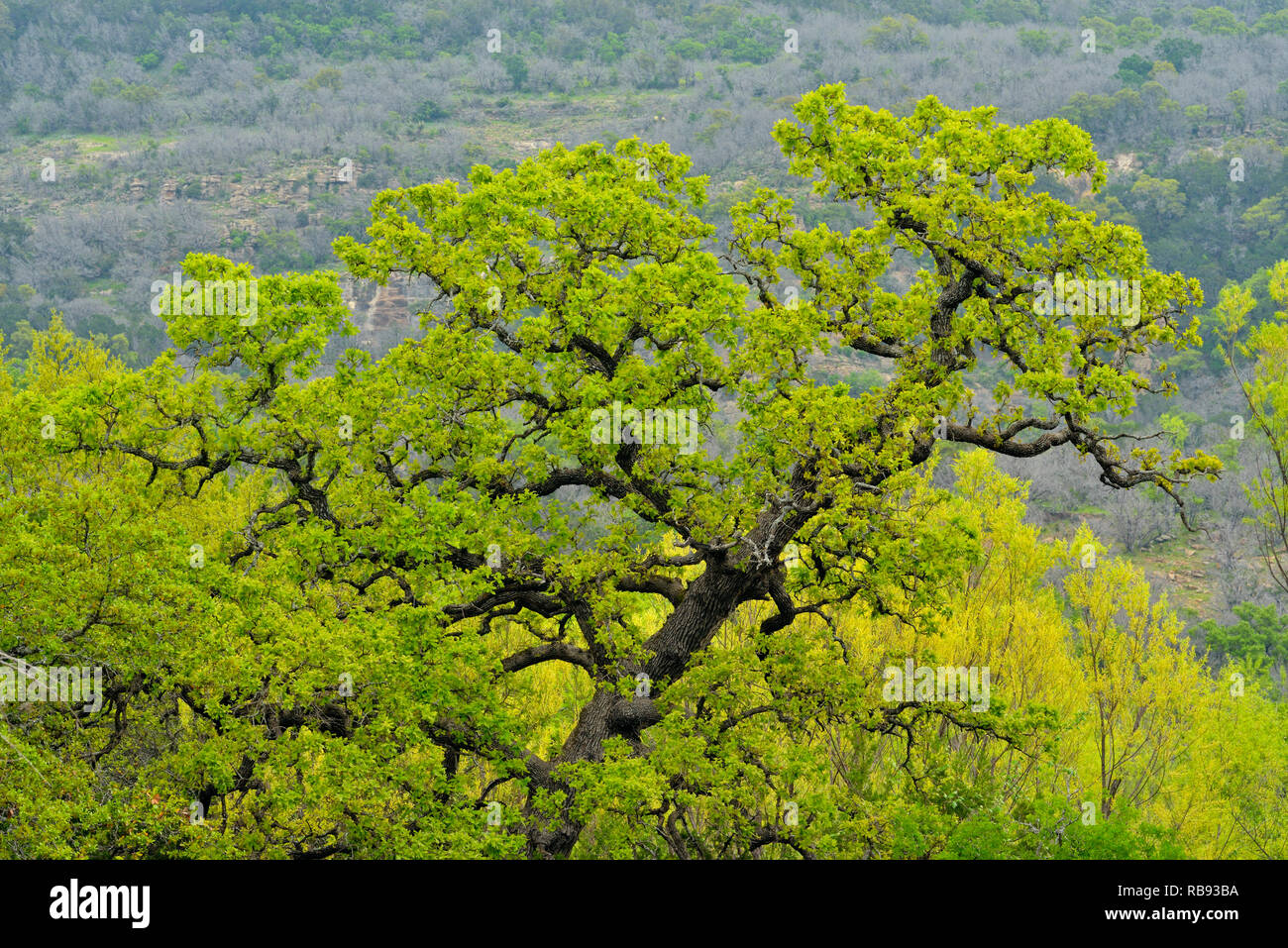 Spring oak trees, Willow City, Gillespie County, Texas, USA - Stock Image