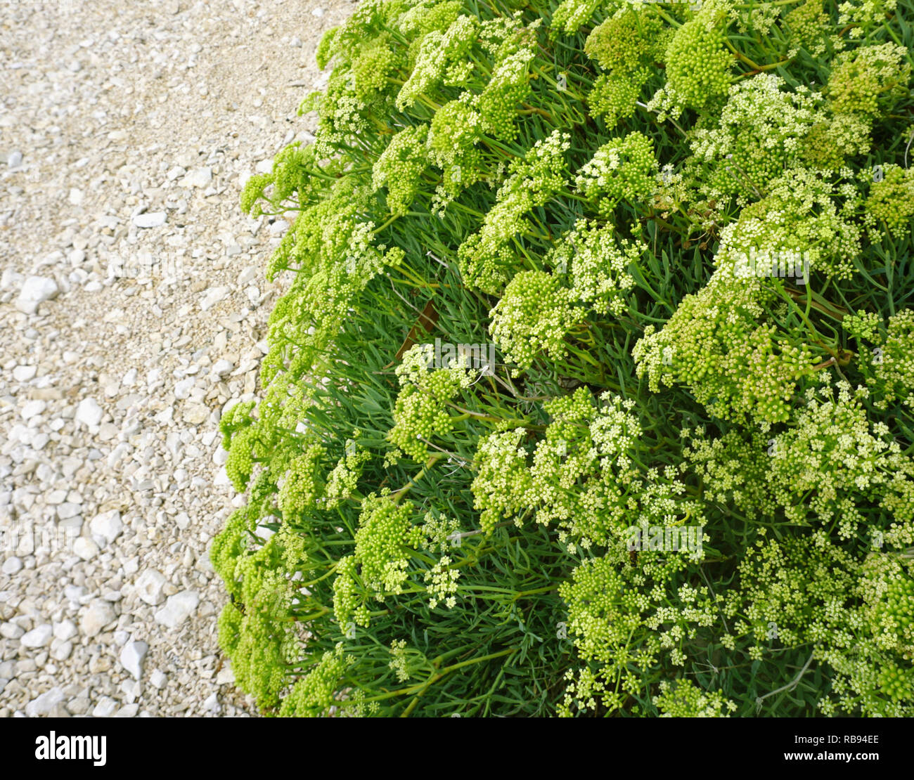 Mediterranean plant Crithmum maritimum L. or Sea fennel with buds and flowers on the pebble beach. Nutritious sea vegetable with many health benefits Stock Photo