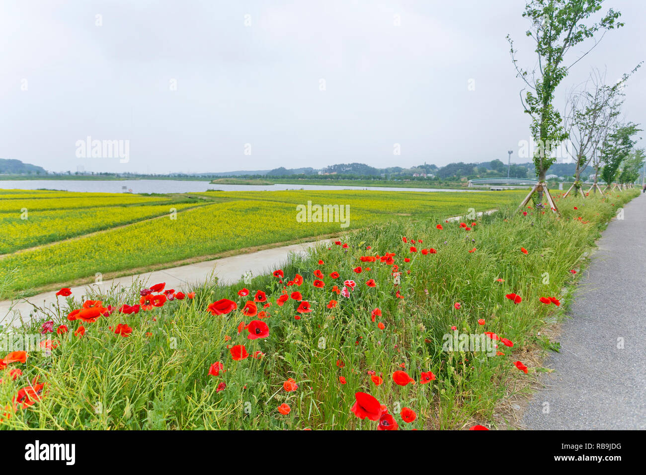 Rapeseed flower in Gyeongpo Provincial Park, Gangneung, South Korea. - Stock Image