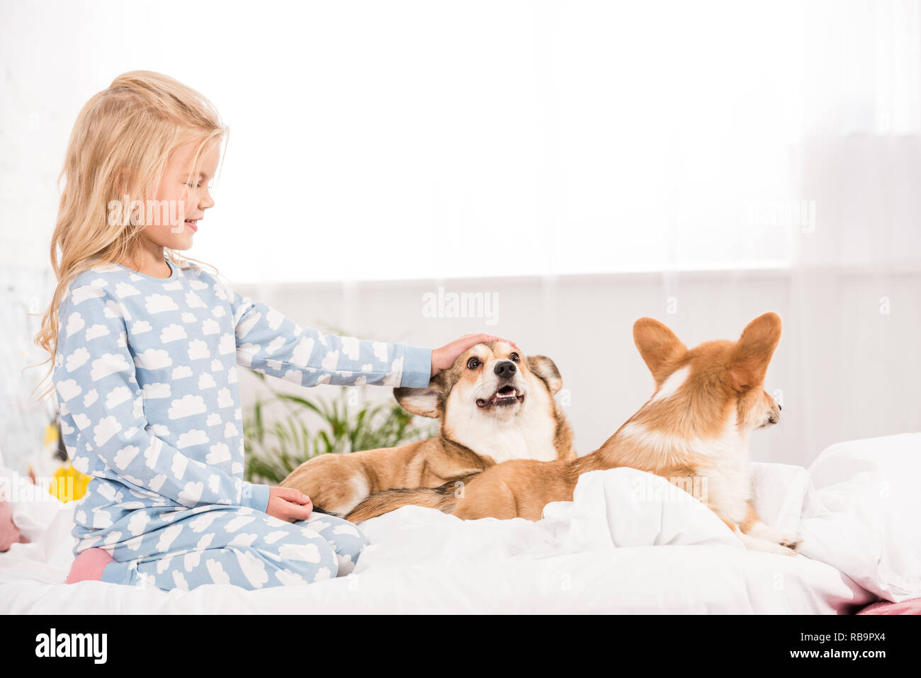 adorable smiling child in pajamas petting corgi dogs in bed - Stock Image
