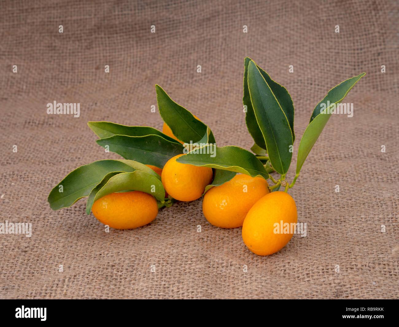 Kumquat, cumquat citrus fruits on hessian, with leaves. Fresh picked. - Stock Image