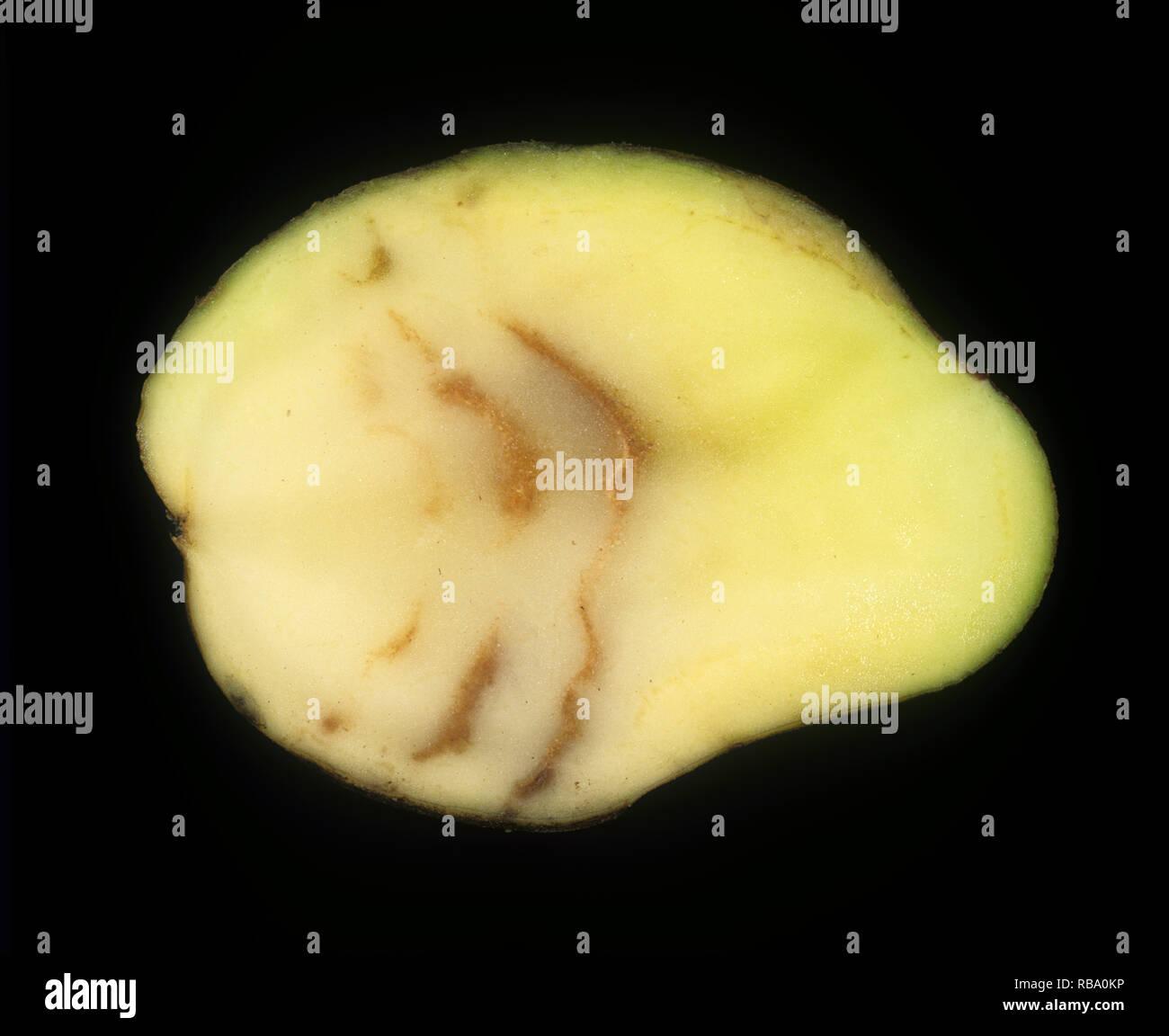 Spraing symptom of potato mop top virus (PMTV) in potato tuber section - Stock Image