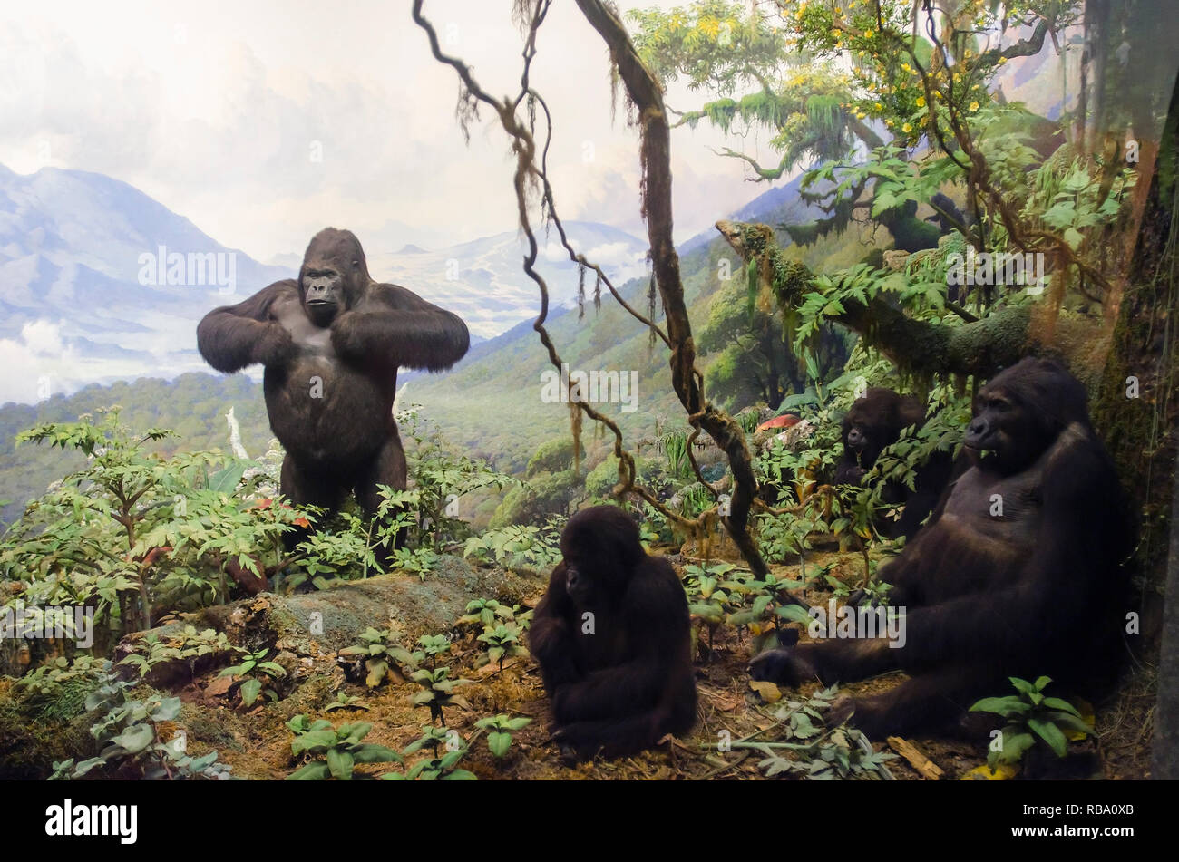 New York, New York, USA - June 20, 2011: Gorillas of Central Africa. Part of a exhibit at the American Museum of Natural History. - Stock Image