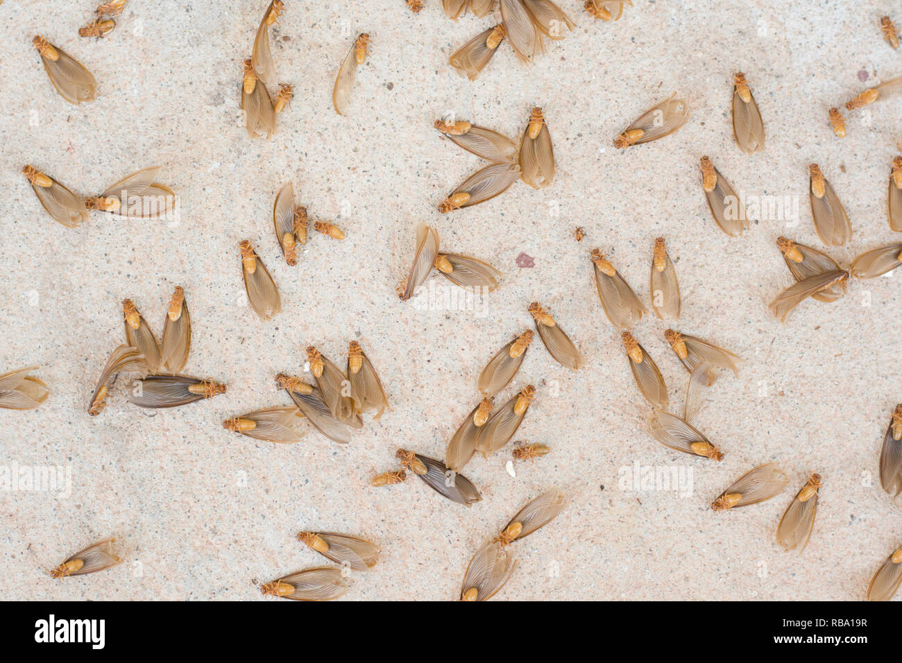 Winged Termite High Resolution Stock Photography And Images Alamy