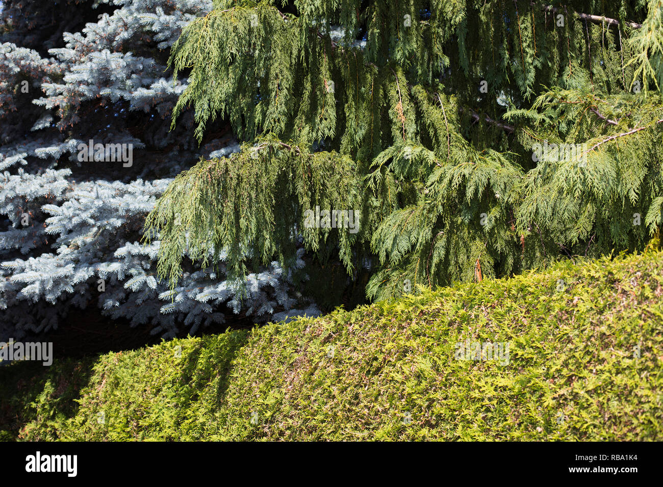A trimmed hedge with two trees - Stock Image