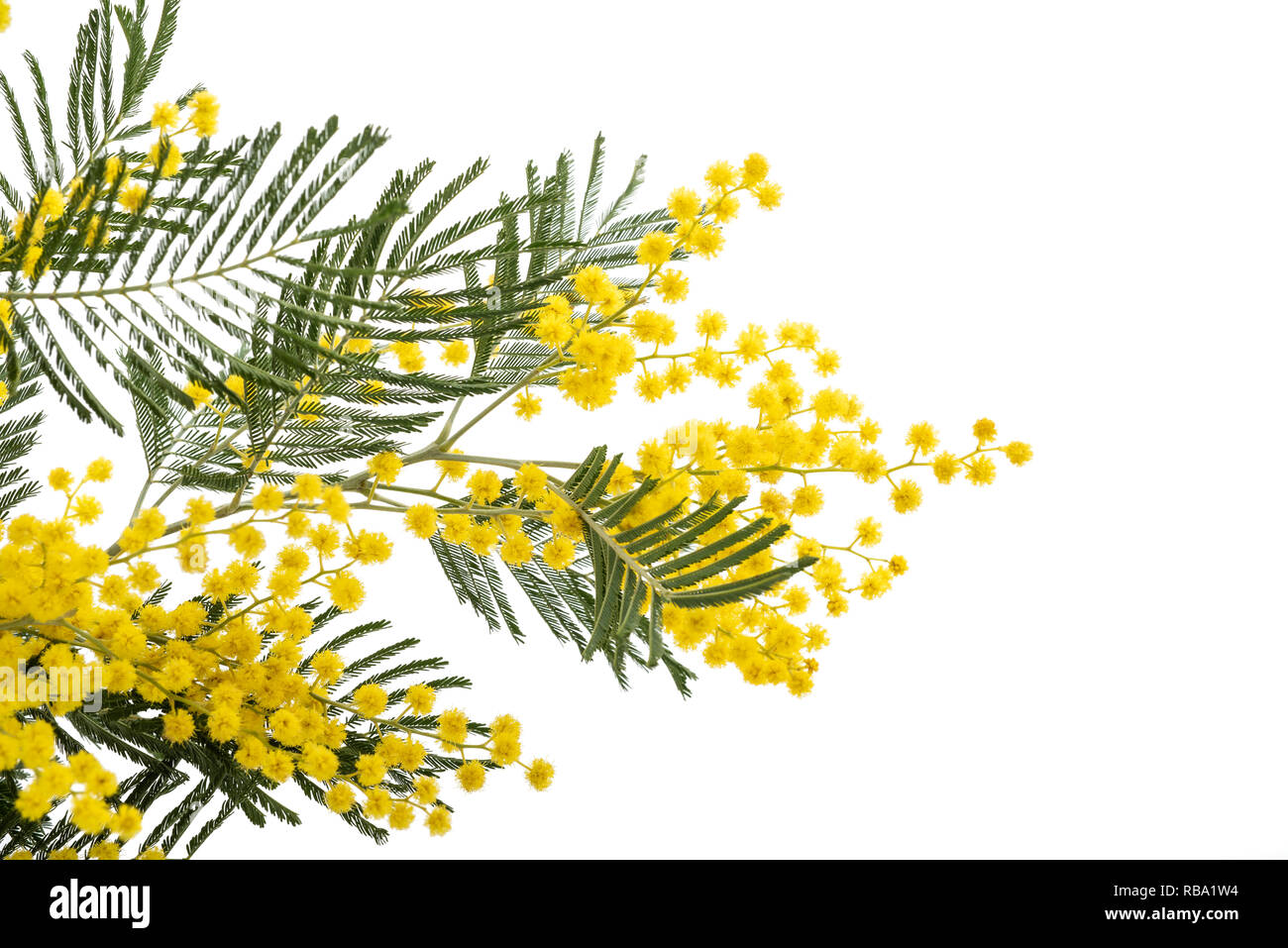 Mimosa (silver wattle) branch isolated on white background. - Stock Image